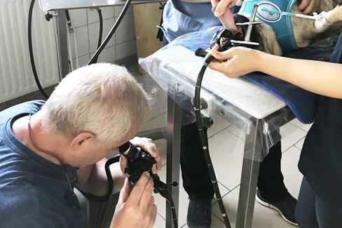 Endoskopische Untersuchung bei Mops