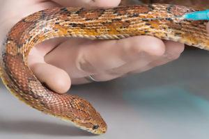 Injektion bei einer Schlange
