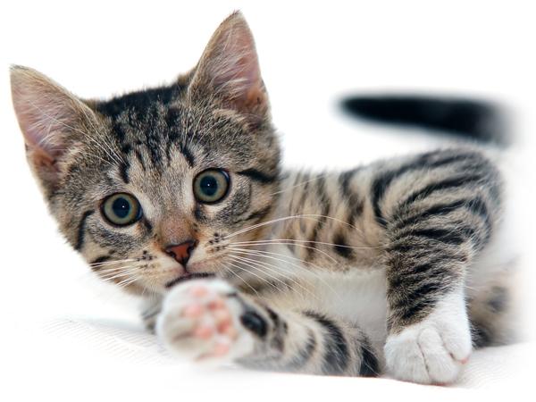 junge Katze mit Herzproblemen