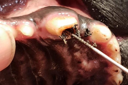 Säubern des Wurzelkanals bei einem Hund